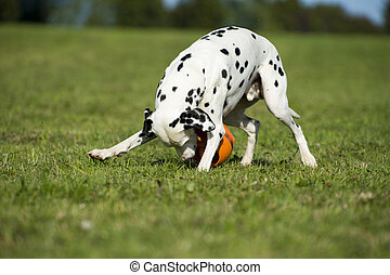 Dalmatian dog in a medow