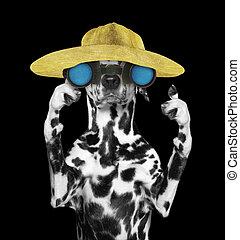 dalmatian, dog, in, een, hoedje, het kijken, en, verrichtend, met, verrekijker, --, vrijstaand, op, black