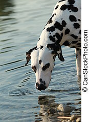 Dalmatian dog in the water in a lake