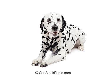 Dalmatian dog, isolated on white - Beauty dalmatian dog,...
