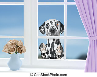 Dalmatian dog looking through the window