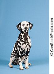 Dalmatian dog on blue background