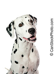 Dalmatian dog portrait on white background