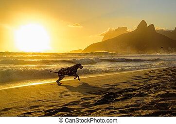 Dalmatian dog running at edge of Atlantic Ocean on the background of beautiful golden sunset, Dois Irmaos Mountain and Pedra da Gavea at Ipanema beach, Rio de Janeiro, Brazil