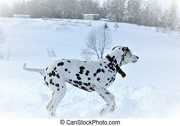 Dalmatian dog running on white snow in winter