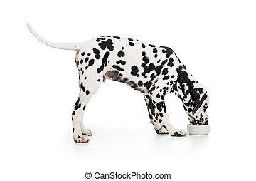 Dalmatian dog side view eating from bowl isolated on white