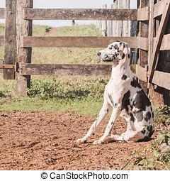 Dalmatian dog sitting in a corral of a farm