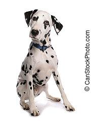 Dalmatian Dog Sitting Studio