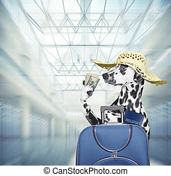 Dalmatian dog waits at the airport with blue suitcase