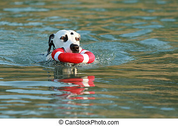 Dalmatian dog with water toy in summer
