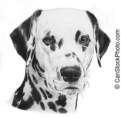 Dalmatian, hand drawn grayscale head of a dalmation dog illustration. Very realistic.