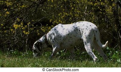 Dalmatian on the hunt