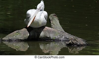 Dalmatian Pelican-Pelecanus crispus-fishing in the water