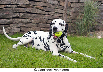 Dalmatian is playing with a ball outside