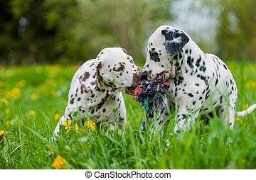 Dalmatian puppies in a spring garden