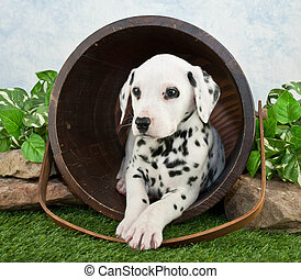 A cute Dalmatian puppy laying in a bucket in the lawn looking to the right.