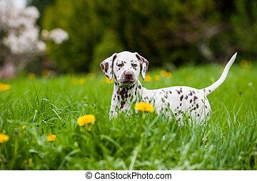 Dalmatian puppy in a spring meadow