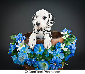 Sweet Dalmatian puppy in a bucket with Morning Glory flowers around her.