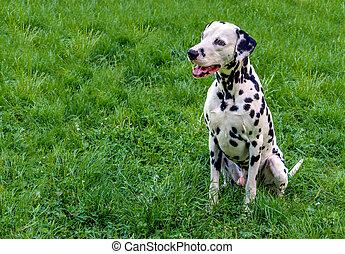Dalmatian seats.
