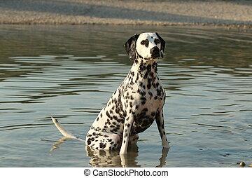 Dalmatian sitting in the water