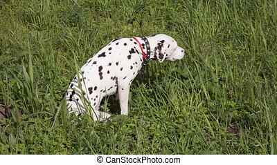Dalmatian - dalmatian eats a grass on a green meadow