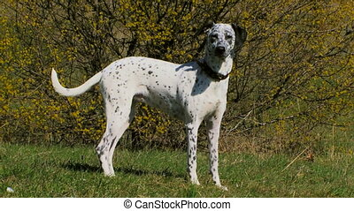 Dalmatians on the nature