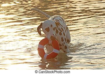 dalmatiner, hund, mit, wasser, spielzeug, in, sommer