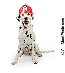 dalmation 狗, 穿, a, 紅色, 消防隊員, 帽子
