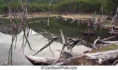 Dam pond dry trees log house beaver in Ushuaia. Hardworking...