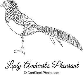 dama, colorido, faisán, amherst, pájaro