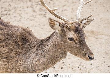 Dama dama, Fallow deer