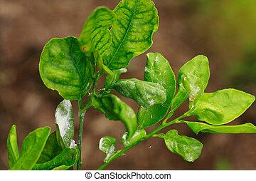 damage marked of Citrus Mealybug insect pest on lime leaf