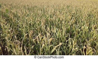 Damaged corn field in autumn