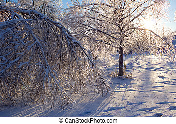 Damaged trees after an extreme ice storm. - Ice coated trees...