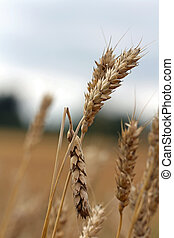 Close up of diseased or damaged wheat.