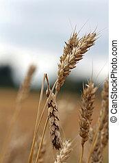 Damaged wheat - Close up of diseased or damaged wheat.