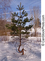Damaged young pine tree in winter