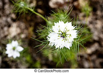 damascena, topview, behang, nigella, bloesems, of, achtergrond, plant