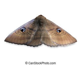 dame, witte , oud, moth, zuidelijk, achtergrond, vrijstaand