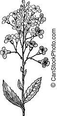 Dame's Rocket or Hesperis matronalis, vintage engraving -...