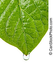 Damp leaf with drop of water after the first spring rain