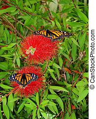 Danaus Plexippus butterflies resting on a red flower