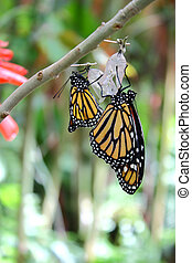 Danaus Plexippus butterfly hanging from the branch of a tree