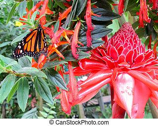 Danaus Plexippus hanging from a brightly coloured flower