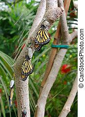 Danaus Plexippus hanging from a tree