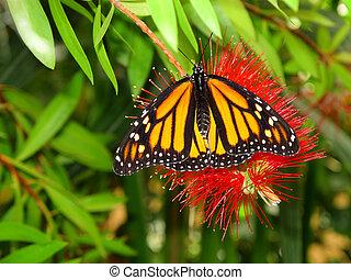 Danaus Plexippus hanging on a bright red flower