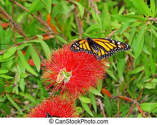 Danaus Plexippus resting on a bright red flower