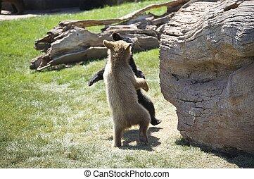 Dancing Bears - Bear Cubs Dancing