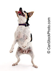 Happy little dog dancing over white background.