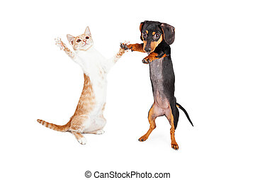 A cute little Dachshund breed puppy dog and a tabby kitten standing on their hind legs dancing together